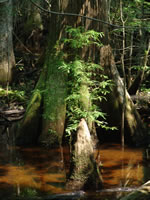 picture of Taxodium distichum, image of Taxodium distichum, photograph of Taxodium distichum