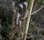 picture of Andropogon floridanus, image of Andropogon floridanus, photograph of -