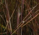 picture of Andropogon perangustatus, image of Andropogon gyrans var. stenophyllus, photograph of -
