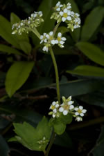 picture of Boykinia aconitifolia, image of Boykinia aconitifolia, photograph of Boykinia aconitifolia