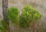 picture of Baccharis angustifolia, image of Baccharis angustifolia, photograph of Baccharis angustifolia