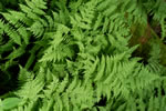 picture of Dryopteris campyloptera, image of Dryopteris campyloptera, photograph of Dryopteris campyloptera