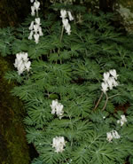 picture of Dicentra canadensis, image of Dicentra canadensis, photograph of Dicentra canadensis