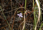 picture of Dicerandra linearifolia +, image of Dicerandra linearifolia +, photograph of -