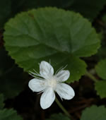 picture of Rubus dalibarda, image of Dalibarda repens, photograph of Dalibarda repens