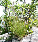 picture of Festuca trachyphylla, image of , photograph of Festuca ovina