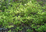 picture of Gaylussacia baccata, image of Gaylussacia baccata, photograph of Gaylussacia baccata