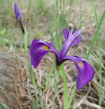 picture of Iris tridentata, image of Iris tridentata, photograph of Iris tridentata