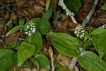 picture of Maianthemum canadense, image of Maianthemum canadense, photograph of Maianthemum canadense