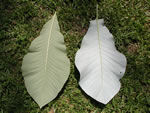 picture of Magnolia macrophylla, image of Magnolia macrophylla, photograph of Magnolia macrophylla
