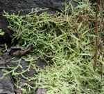 picture of Lycopodioides apodum, image of Selaginella apoda, photograph of Selaginella apoda