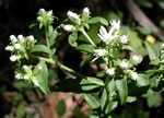 picture of Sericocarpus asteroides, image of Sericocarpus asteroides, photograph of Aster paternus