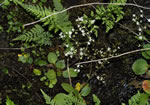 picture of Micranthes careyana, image of Saxifraga careyana, photograph of Saxifraga careyana
