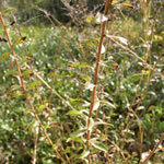 picture of Solidago chapmanii, image of Solidago odora var. chapmanii, photograph of -