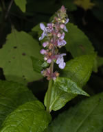picture of Stachys clingmanii, image of Stachys clingmanii, photograph of Stachys clingmanii