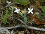 picture of Sedum pusillum, image of Sedum pusillum, photograph of Sedum pusillum