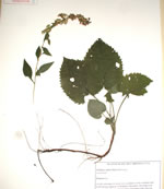 picture of Solidago sphacelata, image of Solidago sphacelata, photograph of Solidago sphacelata