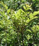 picture of Toxicodendron vernix, image of Toxicodendron vernix, photograph of Rhus vernix