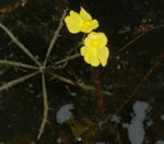 picture of Utricularia inflata, image of Utricularia inflata, photograph of Utricularia inflata var. inflata