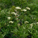 picture of Viburnum cassinoides, image of Viburnum nudum var. cassinoides, photograph of Viburnum cassinoides