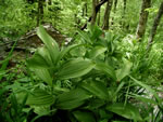 picture of Veratrum viride, image of Veratrum viride, photograph of Veratrum viride