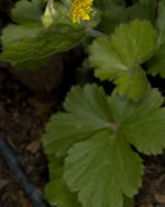 picture of Geum donianum, image of Waldsteinia fragarioides ssp. doniana, photograph of Waldsteinia fragarioides