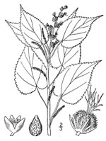 picture of Acalypha ostryifolia, image of Acalypha ostryifolia, photograph of Acalypha ostryaefolia