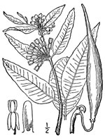 picture of Asclepias viridiflora, image of Asclepias viridiflora, photograph of Asclepias viridiflora