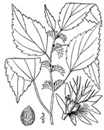 picture of Acalypha virginica, image of Acalypha virginica, photograph of Acalypha virginica