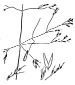 picture of Agrostis elliottiana, image of Agrostis elliottiana, photograph of Agrostis elliottiana