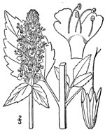 picture of Agastache nepetoides, image of Agastache nepetoides, photograph of Agastache nepetoides