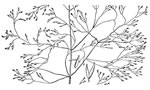picture of Agrostis altissima, image of Agrostis perennans, photograph of Agrostis perennans