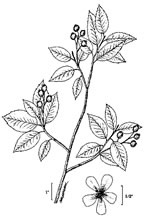 picture of Amelanchier canadensis, image of Amelanchier canadensis, photograph of Amelanchier canadensis