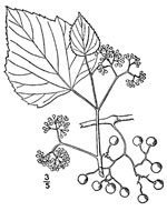picture of Ampelopsis cordata, image of Ampelopsis cordata, photograph of Ampelopsis cordata