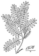 picture of Amorpha fruticosa, image of Amorpha fruticosa, photograph of Amorpha fruticosa