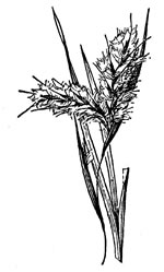 picture of Andropogon capillipes, image of Andropogon capillipes, photograph of Andropogon virginicus