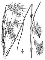 picture of Andropogon gyrans, image of Andropogon gyrans var. gyrans, photograph of Andropogon elliottii