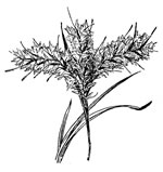 picture of Andropogon longiberbis, image of Andropogon longiberbis, photograph of -