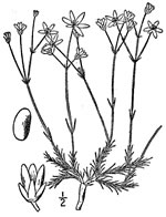 picture of Minuartia caroliniana, image of Minuartia caroliniana, photograph of Arenaria caroliniana