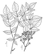 picture of Aralia spinosa, image of Aralia spinosa, photograph of Aralia spinosa