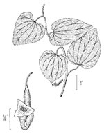 picture of Isotrema tomentosum, image of Aristolochia tomentosa, photograph of Aristolochia tomentosa