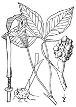 picture of Arisaema triphyllum, image of Arisaema triphyllum ssp. triphyllum, photograph of Arisaema triphyllum