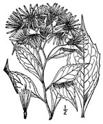 picture of Oclemena acuminata, image of Oclemena acuminata, photograph of Aster acuminatus