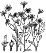 picture of Eurybia compacta, image of Eurybia compacta, photograph of Aster gracilis