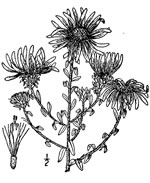 picture of Symphyotrichum grandiflorum, image of Symphyotrichum grandiflorum, photograph of Aster grandiflorus