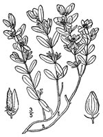 picture of Hypericum hypericoides, image of Hypericum hypericoides ssp. hypericoides, photograph of Hypericum hypericoides