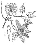 picture of Clematis occidentalis var. occidentalis, image of Clematis occidentalis var. occidentalis, photograph of Clematis verticillaris