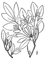 picture of Rhododendron arborescens, image of Rhododendron arborescens, photograph of Rhododendron arborescens