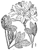picture of Rhododendron canescens, image of Rhododendron canescens, photograph of Rhododendron canescens