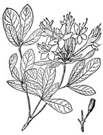 picture of Rhododendron viscosum +, image of Rhododendron viscosum, photograph of Rhododendron viscosum +
